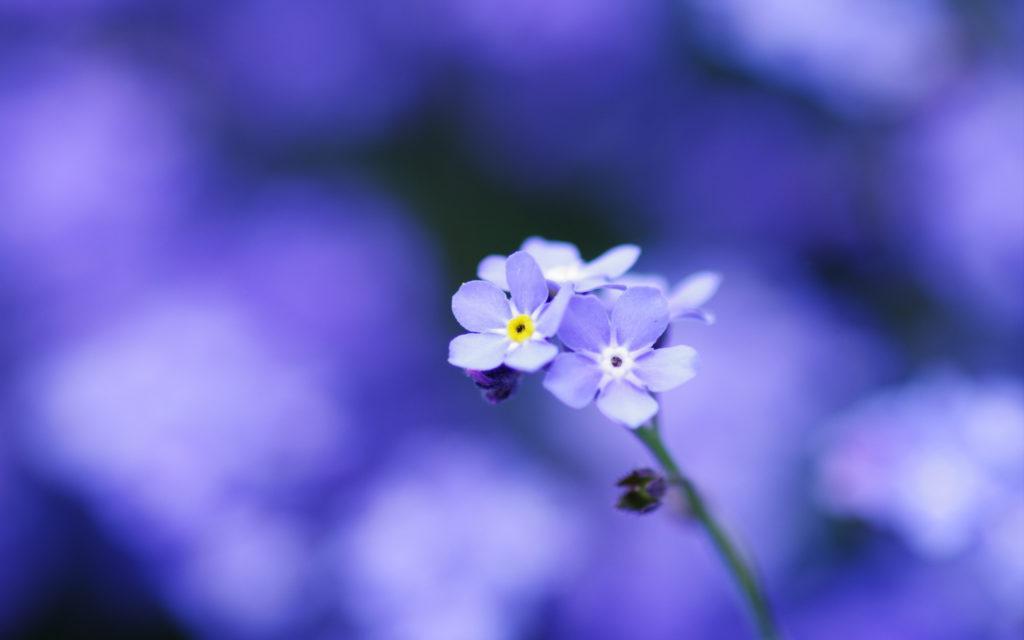 синие цветы природа незабудки в хорошем качестве
