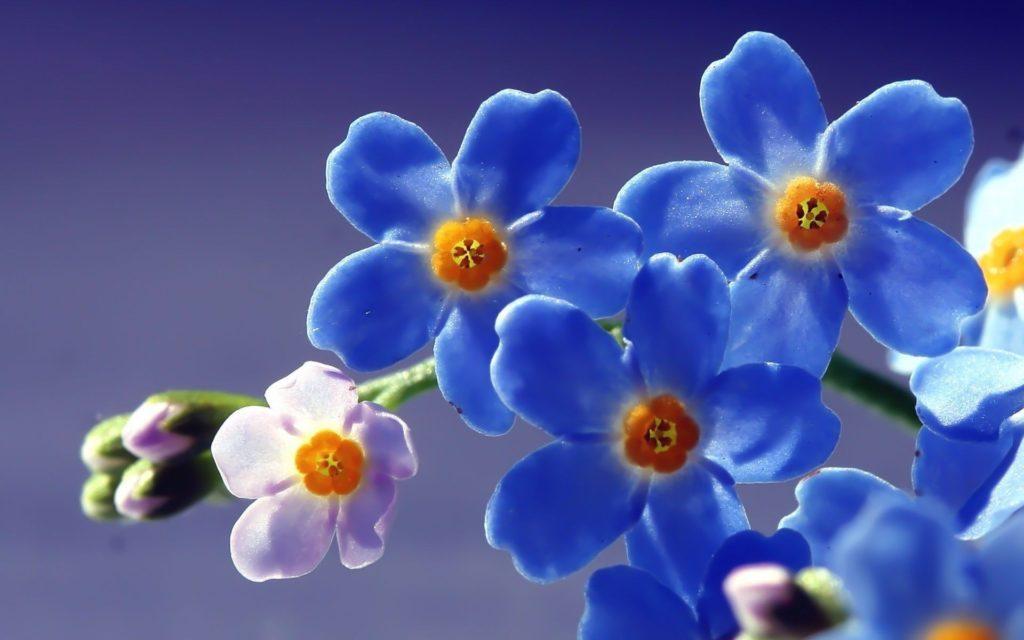 синие цветы природа незабудки анонимно