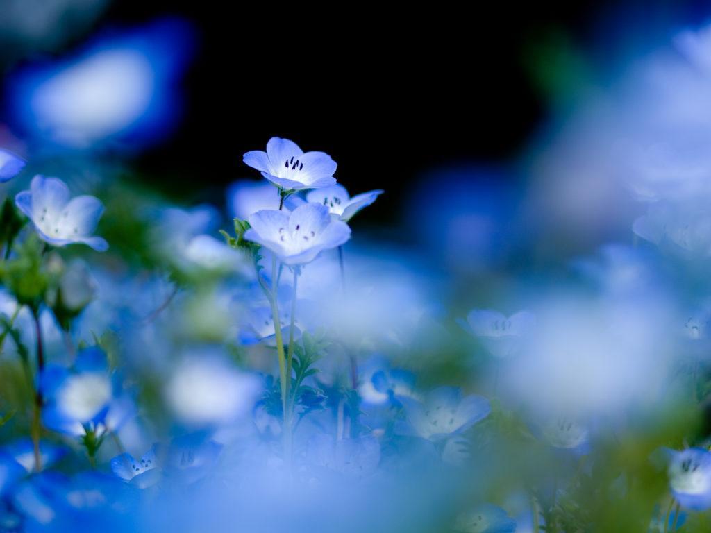 синие цветы природа незабудки без регистрации