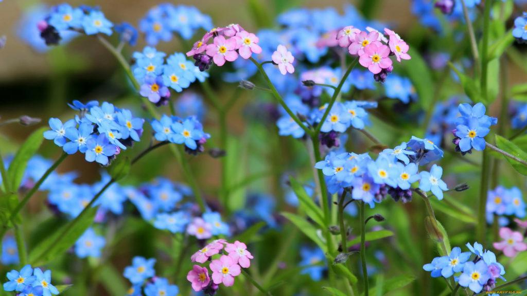 синие цветы природа незабудки без смс