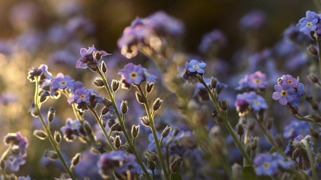 синие цветы природа незабудки онлайн