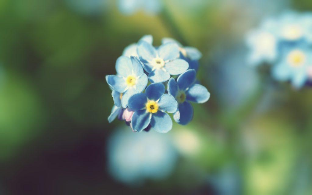 синие цветы природа незабудки на телефон