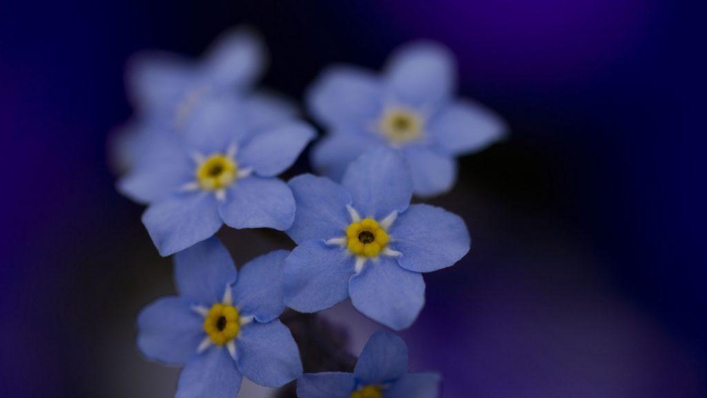 синие цветы природа незабудки подборки