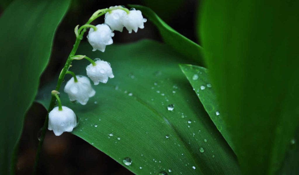 Ландыш цветок капли