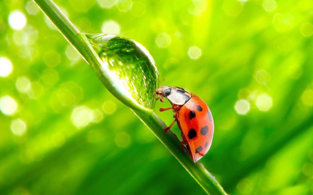 макро насекомое капли роса божья коровка без смс