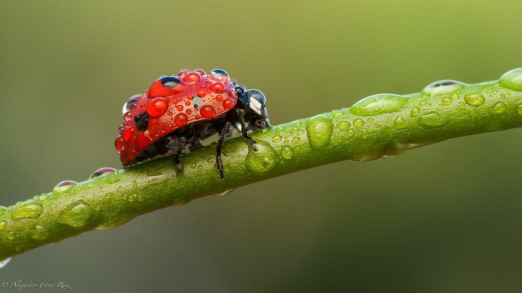 макро насекомое капли роса божья коровка на телефон