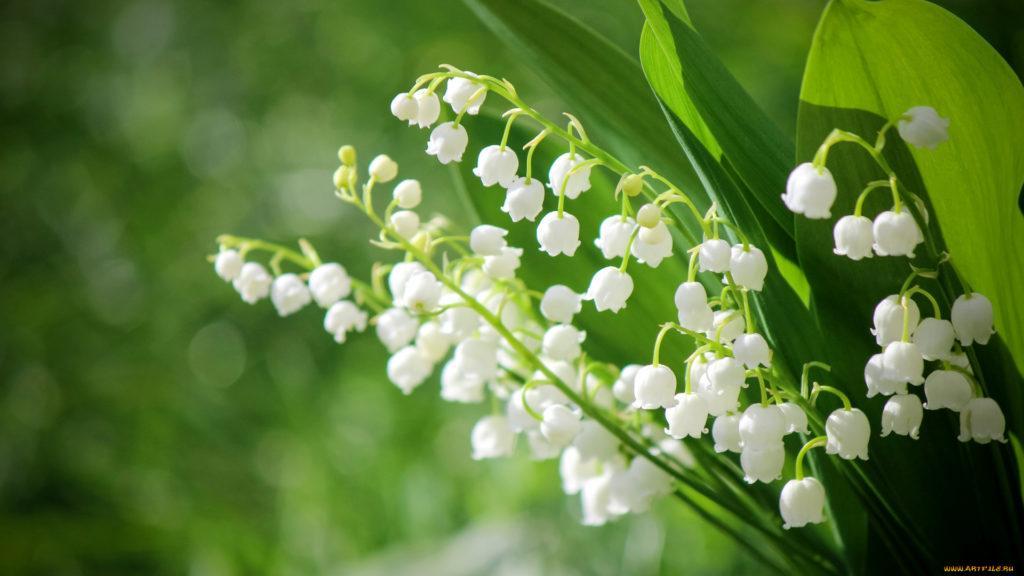 Ландыш цветок капли подборки